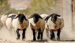 koyunlara-embriyo-transferiyle-et-ve-sut-verimini-katlama-he